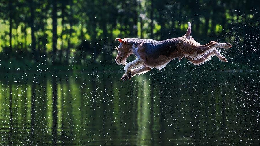 Chien de chasse sautant dans l'eau