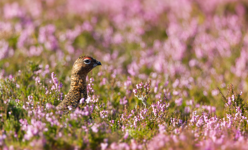 grouse-ecosse-browning