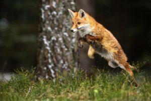 renard-roux-browning