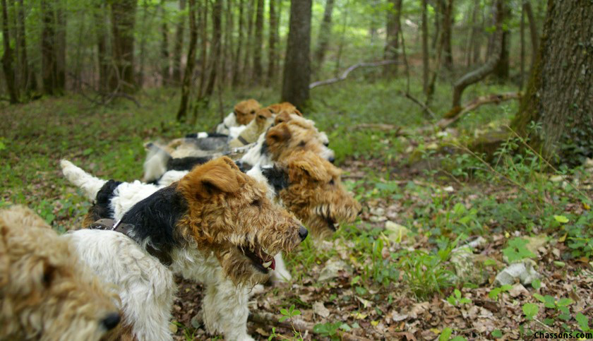 Browning blog - Fox-Terrier chien de chasse