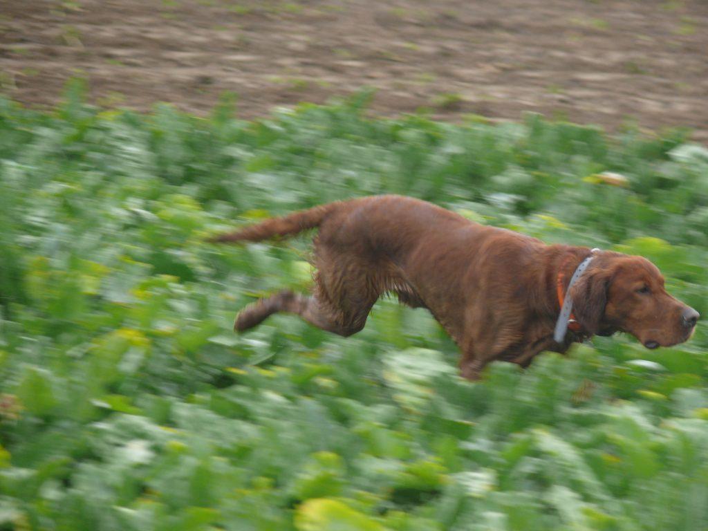Browning blog - La perdrix Grise au chien d'arret