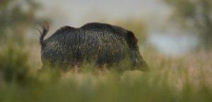 Blog Browning : Peste porcine