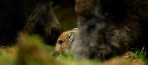Blog Browning : Gestion des populations de sangliers au Royaume-Uni