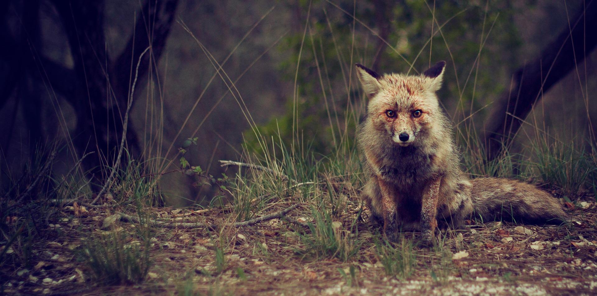 Blog browning : La gestion des nuisibles au Royaume-Uni (renard, lapin)